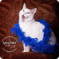 Adopt A Pet :: Marshmallow - Marlton, NJ