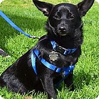 Adopt A Pet :: Teddy Bear - Simi Valley, CA