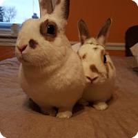 Adopt A Pet :: Thumper & Snowball Hamilton - Conshohocken, PA
