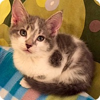 Adopt A Pet :: Anahita - Addison, IL