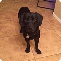 Adopt A Pet :: Dewey - Phoenix, AZ