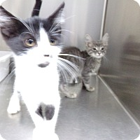 Adopt A Pet :: MORE KITTENS - Osceola, AR