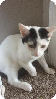 Domestic Shorthair Cat for adoption in Huntley, Illinois - Candy
