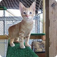 American Shorthair Cat for adoption in Van Wert, Ohio - Nemo