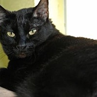 Domestic Shorthair Cat for adoption in Edwards AFB, California - Itchabody