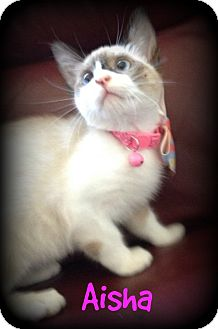 Siamese Kitten for adoption in San Ysidro, California - Aisha