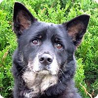 Adopt A Pet :: A076545 Scout - Overland Park, KS