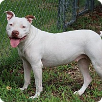 Pit Bull Terrier/Boxer Mix Dog for adoption in Rochester, New York - Molly