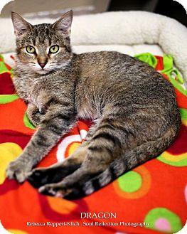 Domestic Shorthair Cat for adoption in Appleton, Wisconsin - Dragon