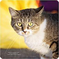 Domestic Shorthair Cat for adoption in Cincinnati, Ohio - Minnie