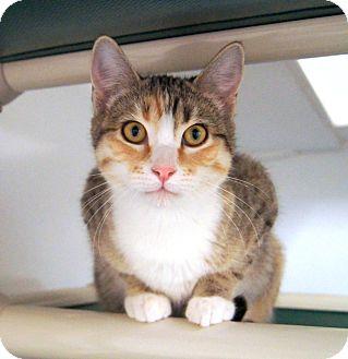 Domestic Shorthair Kitten for adoption in Colorado Springs, Colorado - Eiffel