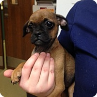 Pug/Chihuahua Mix Puppy for adoption in Paris, Illinois - smudge