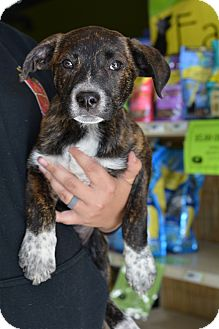 Boxer/Labrador Retriever Mix Puppy for adoption in Fort Collins, Colorado - Bonnie (FORT COLLINS)
