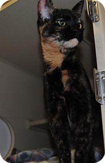 Domestic Shorthair Cat for adoption in Ridgeland, South Carolina - Chop Suey