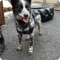 Adopt A Pet :: Blaster - Pottsville, PA