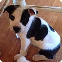 Adopt A Pet :: Rayzer - Boston, MA