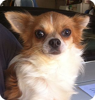 Chihuahua Dog for adoption in Studio City, California - Trixter