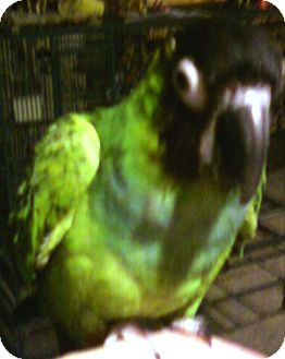 Conure for adoption in Shawnee Mission, Kansas - Machie