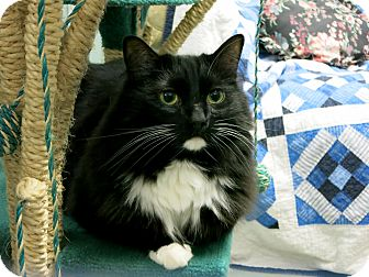Domestic Longhair Cat for adoption in Mission, British Columbia - Edward