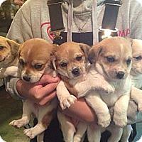Adopt A Pet :: Kay - Stilwell, OK