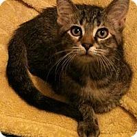 Adopt A Pet :: Anastasia - Sterling Hgts, MI