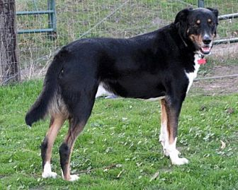 German Shepherd Dog Mix Dog for adoption in Redding, California - Carlos companion