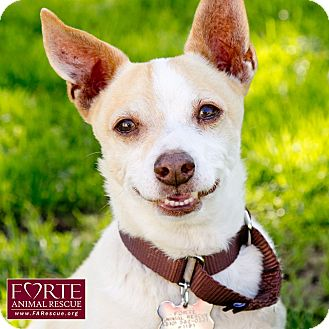 Chihuahua/Jack Russell Terrier Mix Dog for adoption in Marina del Rey, California - Luke