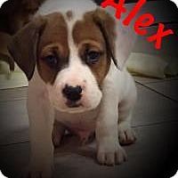 Adopt A Pet :: ALEX - Marlton, NJ