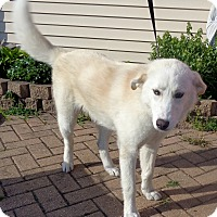 Adopt A Pet :: Kodiak - West Chicago, IL