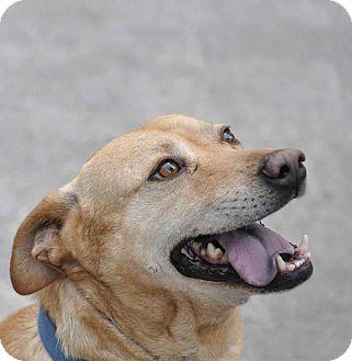Labrador Retriever Mix Dog for adoption in Ormond Beach, Florida - Travis
