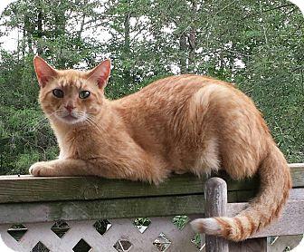 Domestic Shorthair Cat for adoption in Mt. Airy, North Carolina - Maynard