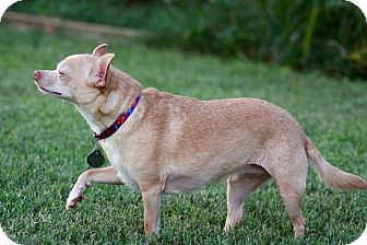 Chihuahua Mix Dog for adoption in Huntsville, Alabama - Tamara