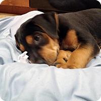 Adopt A Pet :: Chase - PENDING - Grafton, WI