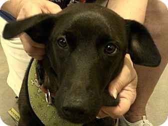 Flat-Coated Retriever/Labrador Retriever Mix Dog for adoption in Newnan, Georgia - Boomer