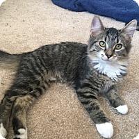 Domestic Mediumhair Kitten for adoption in Colorado Springs, Colorado - Skye