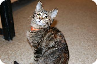 Domestic Shorthair Kitten for adoption in Rochester, Minnesota - Nancy Drew