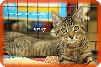 Domestic Shorthair Kitten for adoption in Waterbury, Connecticut - Jeremy