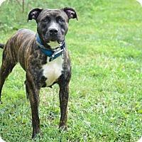 Boxer Dog for adoption in Batavia, Ohio - Ria