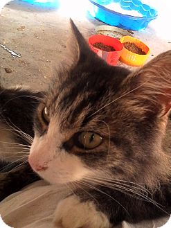 Domestic Longhair Cat for adoption in Medford, New York - Hunter
