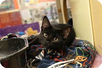 Domestic Shorthair Kitten for adoption in Rochester, Minnesota - Vanity
