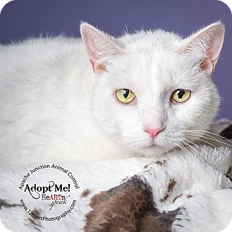 Domestic Shorthair Cat for adoption in Apache Junction, Arizona - Blanch