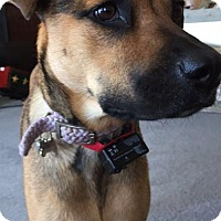 Shepherd (Unknown Type) Mix Dog for adoption in Pompano beach, Florida - Zoey