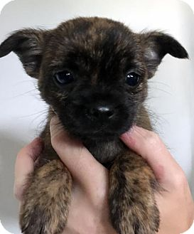 Chihuahua Mix Puppy for adoption in Danbury, Connecticut - Caramel