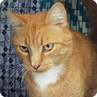 Adopt A Pet :: Tony the Tiger - Grants Pass, OR
