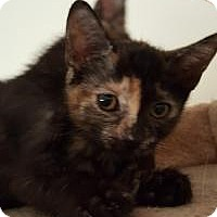 Domestic Shorthair Kitten for adoption in Mission Viejo, California - Sandie