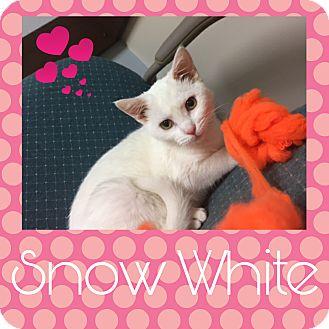 American Shorthair Cat for adoption in Steger, Illinois - Snow White