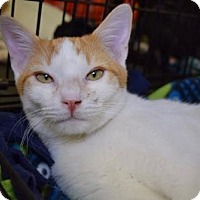 Domestic Shorthair Cat for adoption in Los Angeles, California - Bacardi