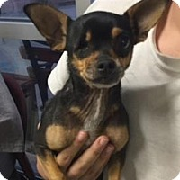 Chihuahua Mix Dog for adoption in San Antonio, Texas - CHICO