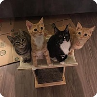 Adopt A Pet :: Sapporo (bonded w/ Kyoto, Okinawa, or Osaka) - Alexandria, VA