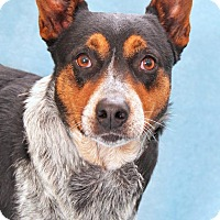 Adopt A Pet :: Willamena - Encinitas, CA